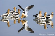 American Avocets by Brandon Downing on 500px