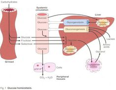 ... in the liver glucose is the common carbohydrate currency in the body