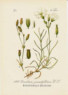 1883 Antique delicate WHITE FLOWER by TwoCatsAntiquePrints on Etsy, $10.00