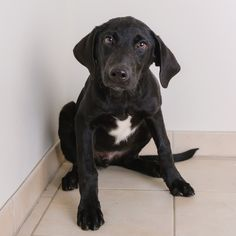 Labrador Retriever dog for Adoption in Eden Prairie, MN. ADN-636692 on PuppyFinder.com Gender: Male. Age: Baby
