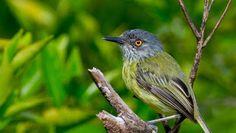 ferreirinho-estriado_Todirostrum maculatum_Brazilian Birds