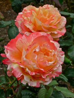 Happy Go Lucky ~ Hybrid Tea Rose.  HUGE blooms of showy color.  Hybrid Tea Roses are the most popular rose.