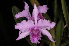 laelia cyermaniana orchids plants and flowers species   laelia anceps $ 15 00 laelia furfuracea $ 28 00