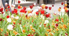 Immer am 13. Mai feiert man in den USA den sogenannten Tag der Tulpen, den amerikanischem National Tulip Day. Hurra für Liliengewächse und Blumen.