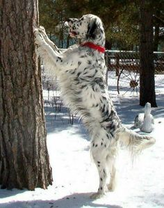 """Click visit site and Check out Cool """"English Setter"""" T-shirts. This website is excellent. Tip: You can search """"your name"""" or """"your favorite shirts"""" at search bar on the top. Big Dogs, I Love Dogs, Cute Dogs, Funny Animal Pictures, Dog Pictures, English Setter Puppies, Animals And Pets, Cute Animals, Gordon Setter"""