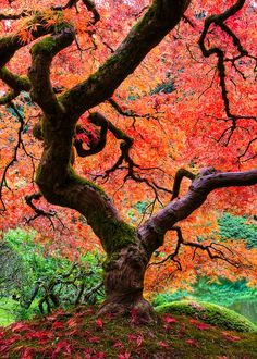 The Japanese Maple at the Portland Japanese Gardens