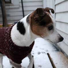 Emmy the Jack Russell Terrier