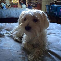 ~ Daily Dose of Cuteness ~  Matisse looking handsome after a bath and groom #MatisseMorkie #morkielove #morkie (Shared by Judith Campe Huber) #DogoftheDay http://aboutmorkies.com/ Follow us: Facebook.com/YorkiesMorkiesMaltese Twitter.com/morkienation #dog #doglovers #animals #pets #yorkies #yorkie #yorkielovers #petlovers #dogowners #puppy #adorablepets #sillydogs #smallanimals #instadogs #instayorkie #instapuppy #instaanimals #petsofinstagram #dogsofinstagram #yorkieofinstagram #puppylove