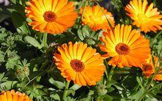 körömvirág virága (csak a szirom)