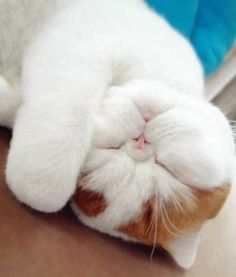 I'm not really a cat person, but if I were to get one, I would want one with a flat face like this one! So cute!