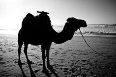 Kamell am Strand! #schwarzweiß #Kamel #Strand #Fotografie #Sonne #Fußspuren #Meer #Kontrast