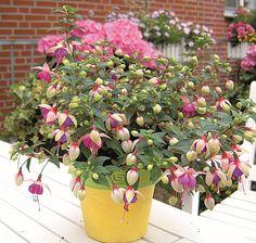 Fuchsia Fuchsita Blush Violet