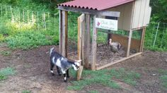 This cute little video shows what happens when a curious baby goat tries to get into the Chick Inn.
