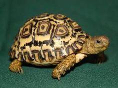 「leopard tortoise」の画像検索結果