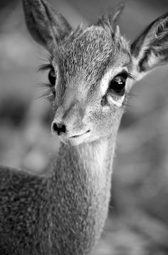 African dik-dik - so funny this came up in my feed.  Dik Diks are my new fave animal after being with them here in Africa.  They mate for life, and if 1 dies, the other stops eating and dies 7 days later.  They are always in pairs, and so adorable!!! Look at those eyelashes!