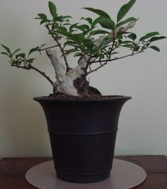 #3 Another view of the same shari bonsai. Next phase over the next few years will be to extend the length of the living branches to have them cascade down the bonsai pot.
