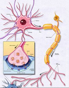 Function of a Neuron - BrainFacts.Org