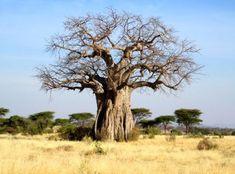 Baobab boom in Tanzania, Tarangire NP / Lake Manyara Landscape Pictures, Landscape Paintings, Weird Trees, Baobab Tree, Tree Forest, Big Tree, Exotic Plants, Belleza Natural, Fauna