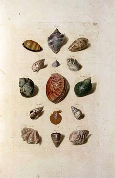 The Collected Interior: Vintage Printable Sea Shell Prints!