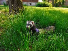 Walk outside Pet Ferret, The Outsiders, Pets, Animals, Animaux, Animal, Animales, Animais