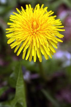 the wonderful Dandelion!