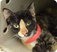 Philadelphia, PA - Domestic Shorthair. Meet Cookie (foster care), a cat for adoption. http://www.adoptapet.com/pet/15481635-philadelphia-pennsylvania-cat