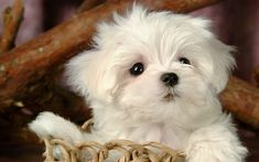 Maltese Dog | Fluffy Maltese Puppy Dogs - White Maltese Puppies wallpapers 1920*1200 ...