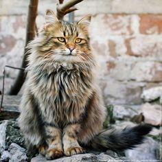 Fluffy The King by Zoran Milutinovic