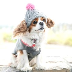 All About Cute Cavalier King Charles Spaniel Temperament King Charles Puppy, King Charles Spaniel, Cute Puppies, Cute Dogs, Corgi Puppies, Spaniel Puppies, Cute Creatures, Fauna, I Love Dogs