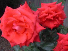 Como Crescer Rosas com borra de café | Sustainablog