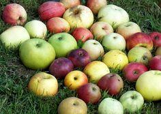 Alte Apfelsorten.