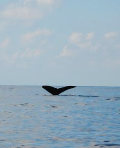 Whales tail (baby and mama Humpbacks) on tour to Caño Island bioreserve #PuraVida #CostaRica