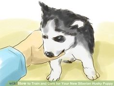 Image titled Train and Care for Your New Siberian Husky Puppy Step 5