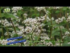 Boekweit - Buckwheat - Fagopyrum esculentum - Looking for broadcast footage? Don't shoot! Contact  http://www.stockshot.nl/english/startuk.htm ©    more flora: http://www.youtube.com/view_play_list?p=EBD9CA52B81836F6