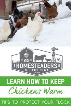From the moment that you first bring home the newly hatched chicks, the question of how to keep chickens warm will become important. Take a look at the different scenarios involved in keeping them warm throughout the seasons and their life. #homesteading #chickens #backyardchickens #selfsufficiency Keeping Chickens, Raising Chickens, Meat Chickens, Chickens Backyard, Keep Warm, Stay Warm, Modern Homesteading, Broody, Feed Bags