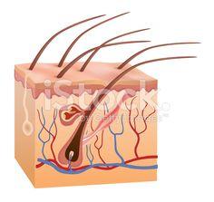 Human skin and hair anatomy royalty-free stock vector art