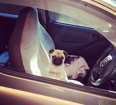 Here's a funny pug picture of a fawn pug puppy driving a sports car. We're not sure how good pugs are at driving but we certainly know that they look good Funny Pug Pictures, Fawn Pug, Fast Cars, Pugs, Racing, Puppies, Animals, Running, Cubs