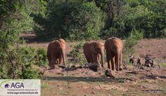 Die kleinen Elefanten wissen meist genau, wenn es Zeit für ihre Milchfütterung ist, und rennen dann oft in freudiger Erwartung zu ihren Pflegern. Aga, Elephant, Animals, Kenya, Wilderness, January, Elephants, Knowledge, Animales