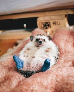 Hedgehogs. Pets. Animals. Cute.