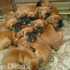 10 adorable boxer puppies! Looks like the litter our girl had; we had nine~