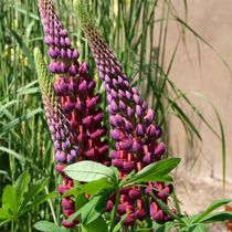 Lupin 'Masterpiece'  Drifts of lupins stretching along a border, under planted with smaller plants