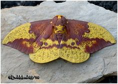 Male Imperial Moth (Eacles imperialis) 8 - 11.5 cm North America