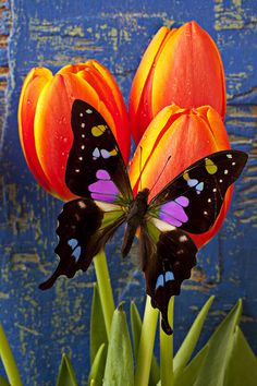 Black and Pink Butterfly - ©Garry Gay