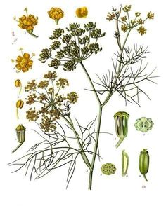 SPICE:  Fennel  Its bulbs can be enjoyed as a vegetable, its leaves can provide a delicate flavor to a variety of foods and its seeds and pollen are used as an anise-flavored spice. The history of the plant goes back millennia and there are even a few different Greek myths related to it. In one myth, Prometheus used the stalk of the plant to steal fire from the gods. In another, the god Dionysus fashioned a self-pleasuring toy out of a fennel branch to satisfy himself after