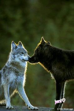 Gray n Black Wolves!