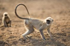 """Black faced monkey, Bandar or langur Mostly To be found in western Rajasthan state of india, """"Bandar"""" is real name of monkey in india Indian Monkey, Indian Animals, States Of India, Animal 2, Westerns, Face, Target, Target Audience"""