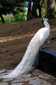 Albino Peacock and other albino animals (just click)
