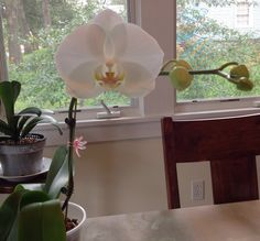 learning how to care for orchids....