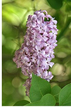 When To Prune Lilac Bushes. Dwarf lilacs need lighter pruning than full-size bushes.