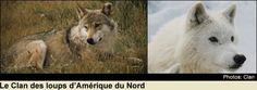 Le Clan des loups d'amérique du nord